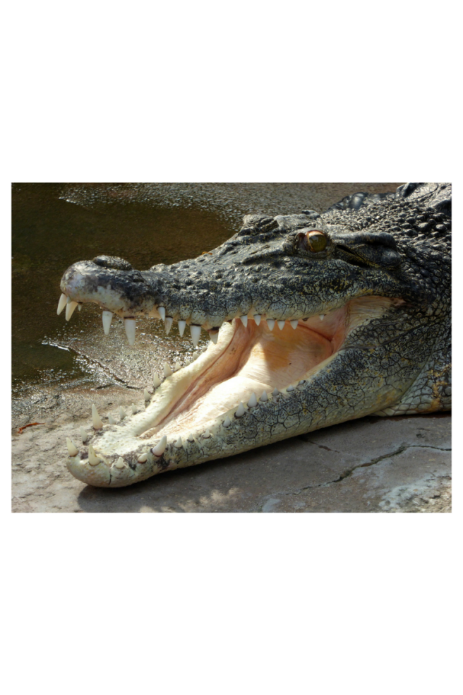 crocodile (1).png