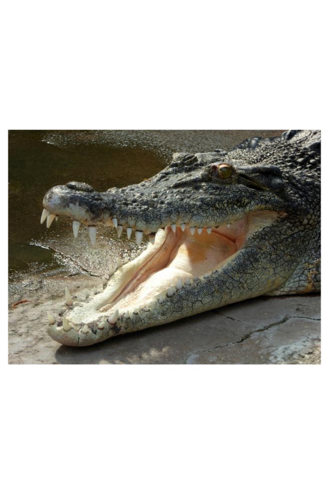 crocodile (1).png