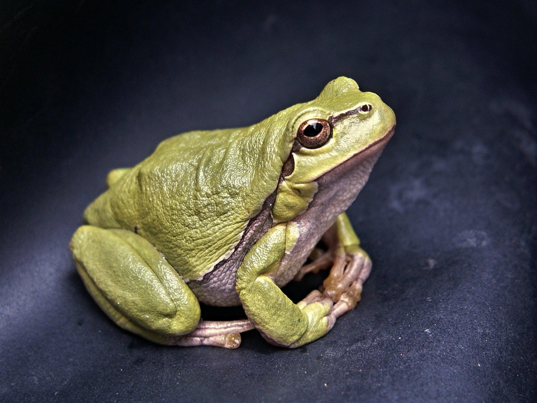 frog-macro-amphibian-green-70083.jpeg